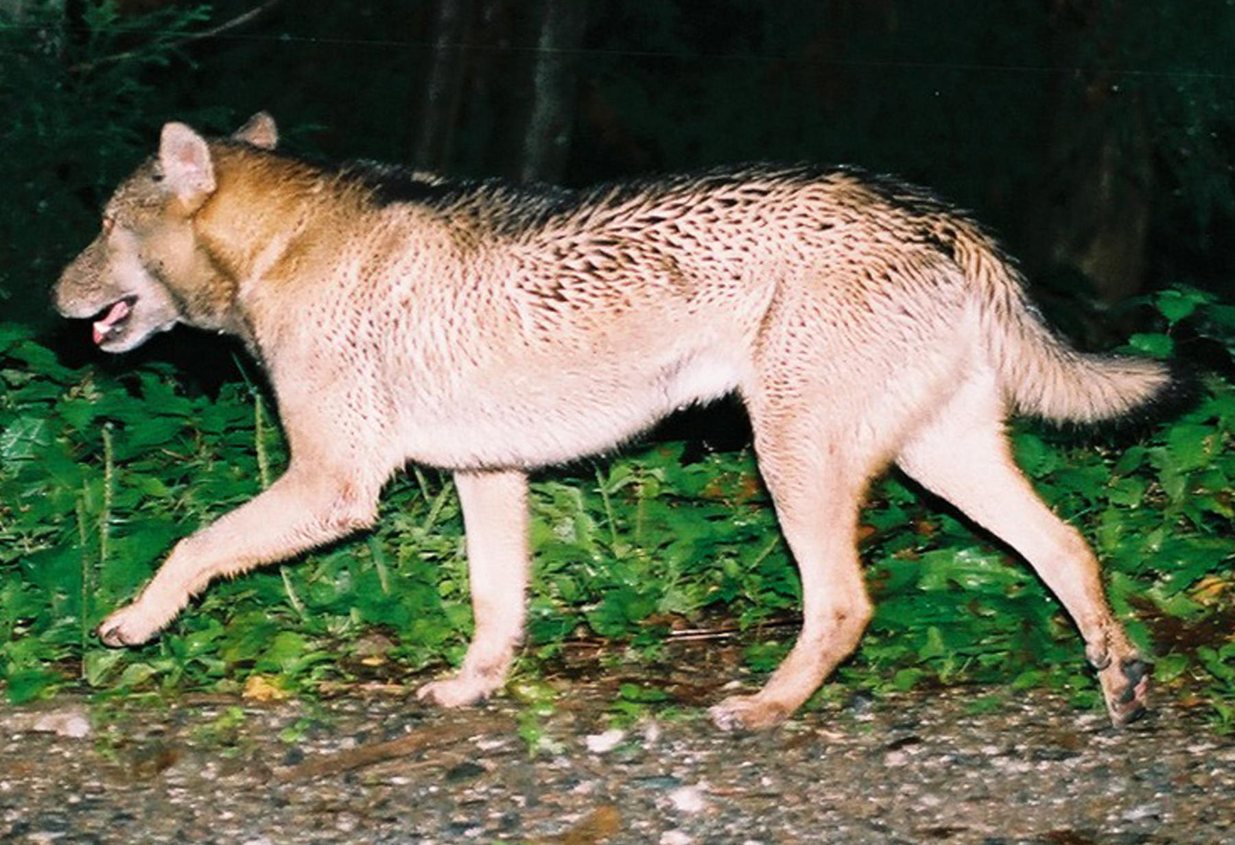 One of the 19 photographs of the wolf-like Chichibu yaken (Chichibu wild dog) shot by Hiroshi Yagi in the mountains of Chichibu