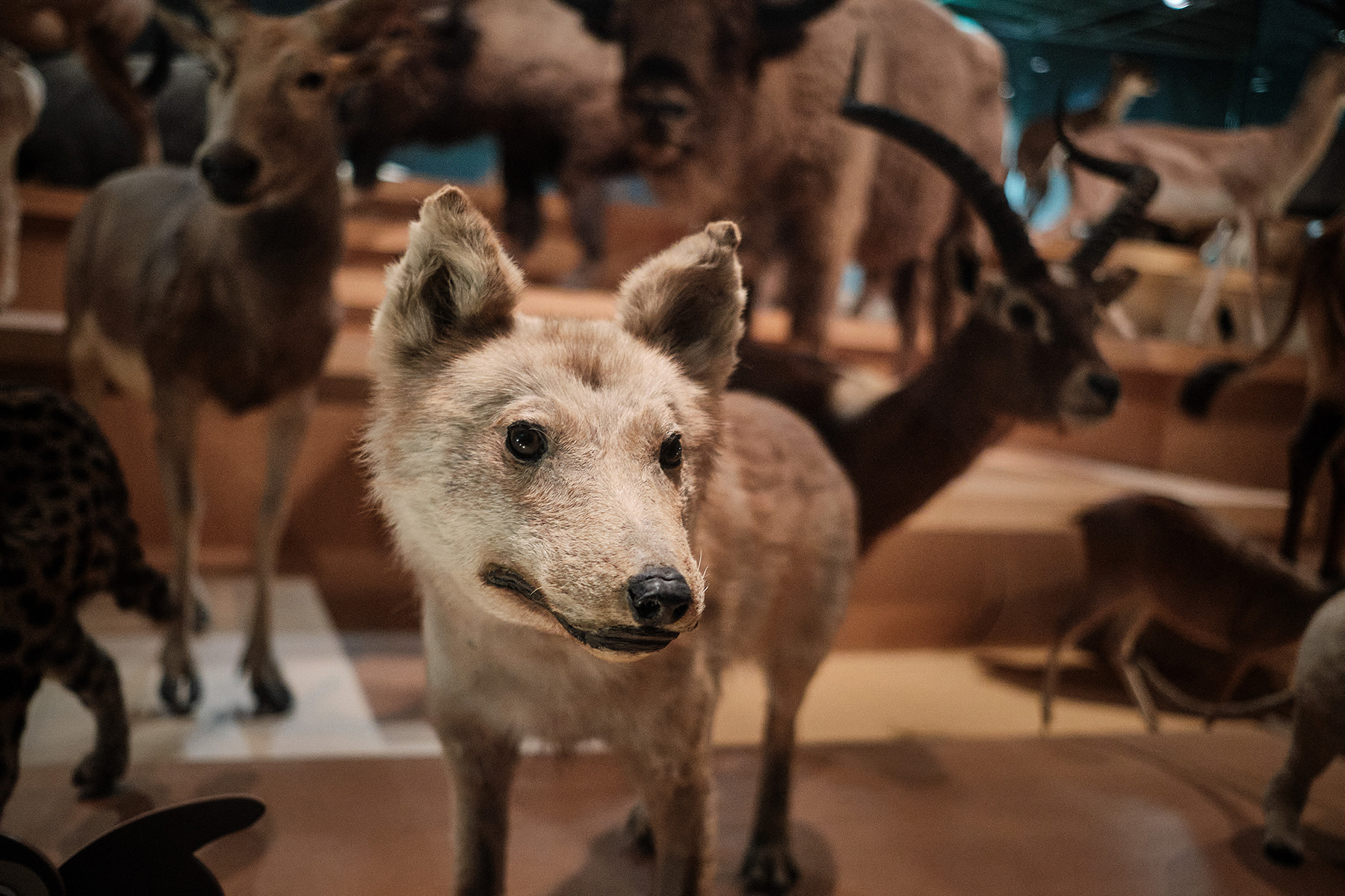 A stuffed specimen of the Japanese wolf at the National Museum of Nature and Science in Tokyo. There are only four mounted specimens of the supposedly extinct beast surviving in the world. | THOMAS DELSOL / HANS LUCAS
