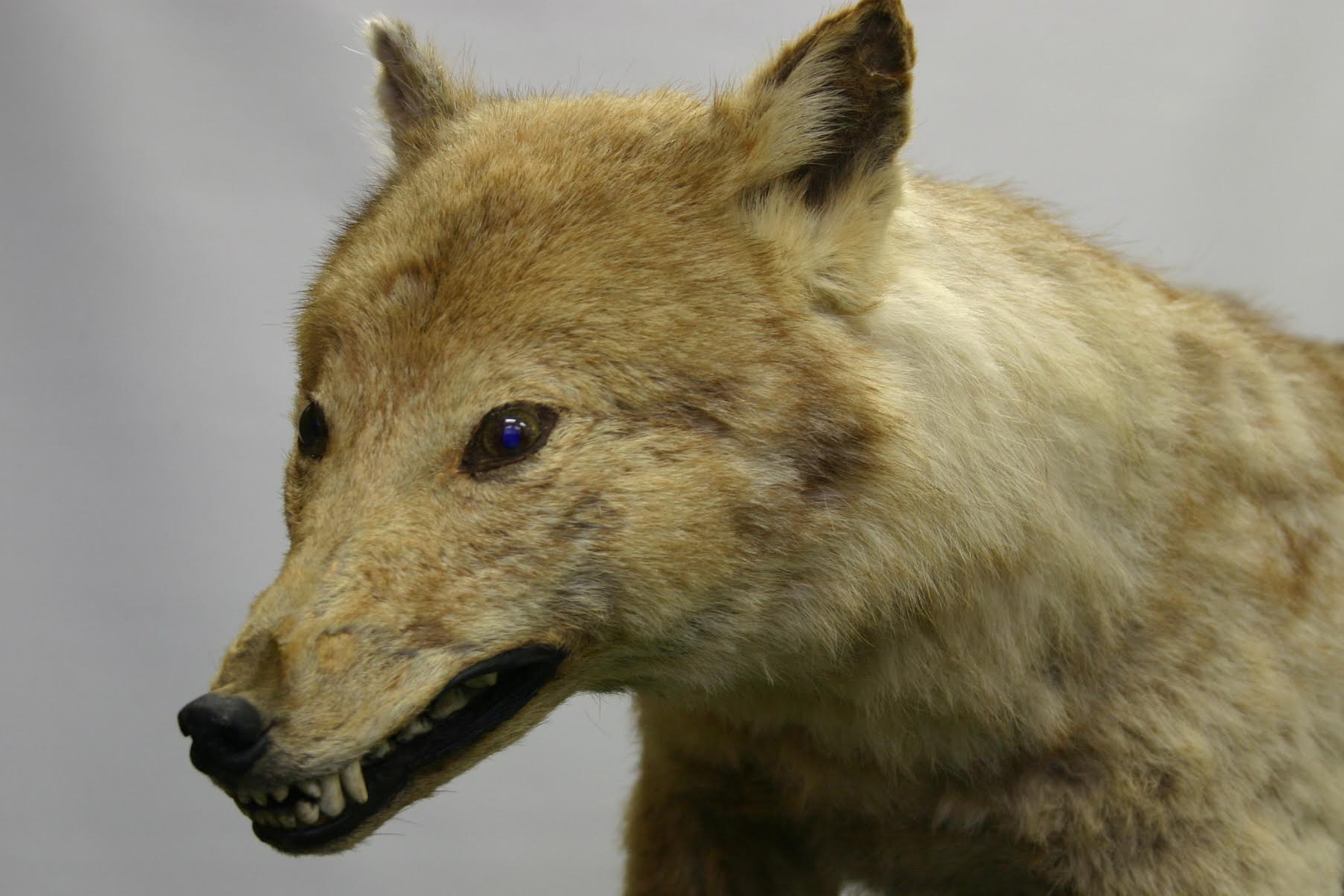 A stuffed specimen of the Japanese wolf stored at the University of Tokyo's Faculty of Agriculture | COURTESY OF THE FACULTY OF AGRICULTURE, UNIVERSITY OF TOKYO