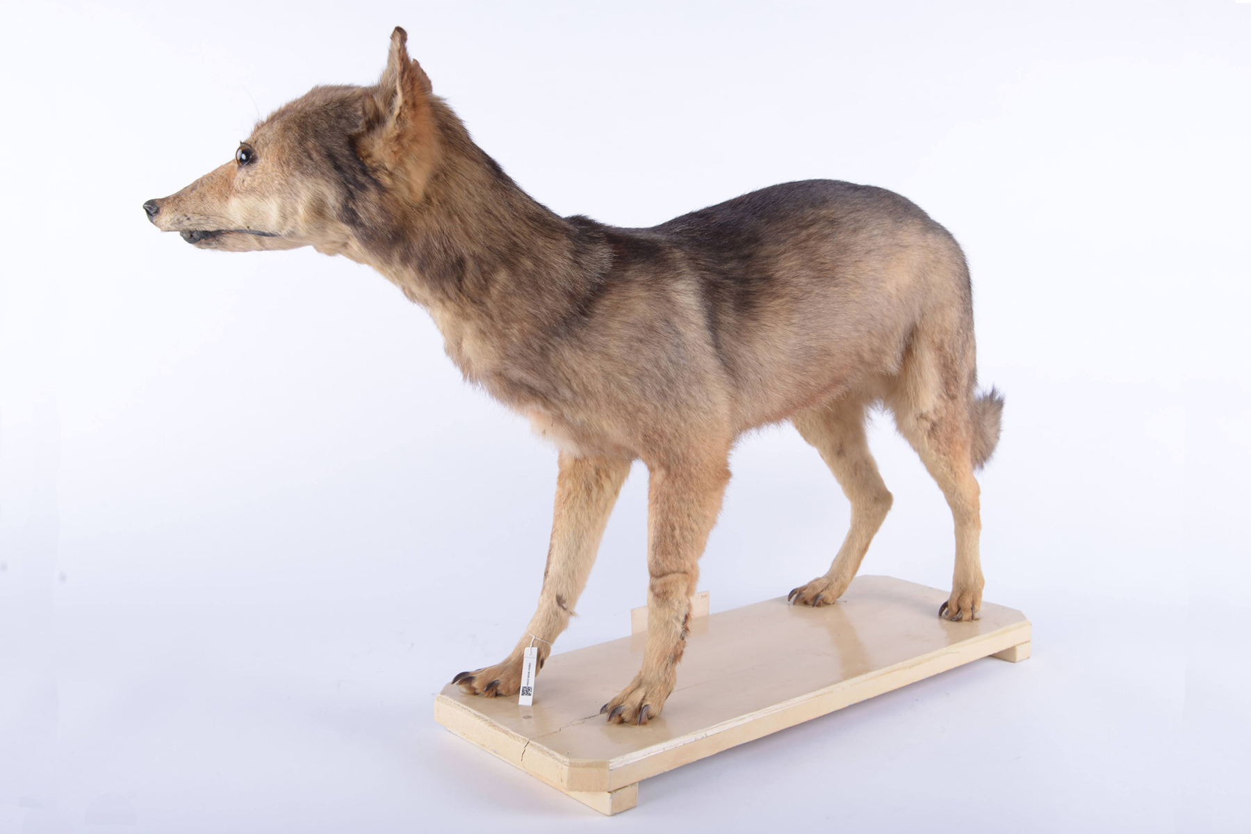 Siebold's mounted specimen of the Japanese wolf, stored at the Naturalis Biodiversity Center in Leiden, the Netherlands | COURTESY OF THE NATURALIS BIODIVERSITY CENTER, THE NETHERLANDS