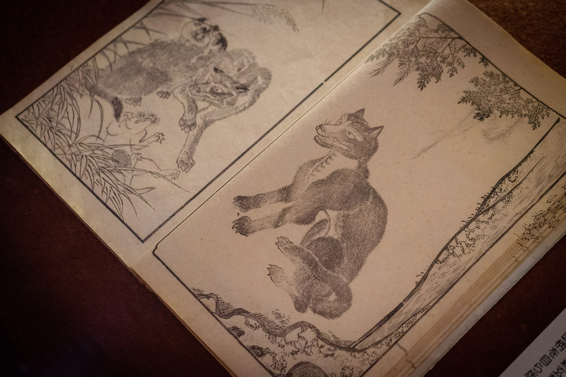 The Japanese wolf as depicted in a collection of artworks by Chichibu artist Mori Genkosai stored in Mitsumine Shrine's museum | OSCAR BOYD