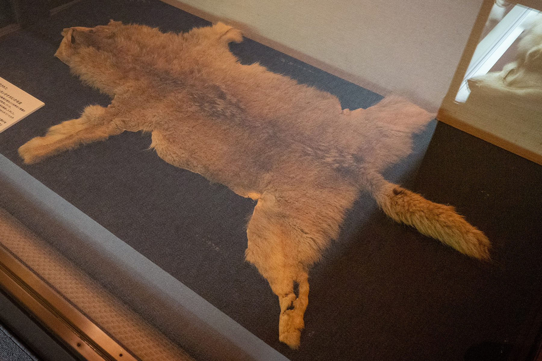 A pelt of a Japanese wolf stored at a museum adjacent to Mitsumine Shrine in Chichibu, Saitama Prefecture | OSCAR BOYD