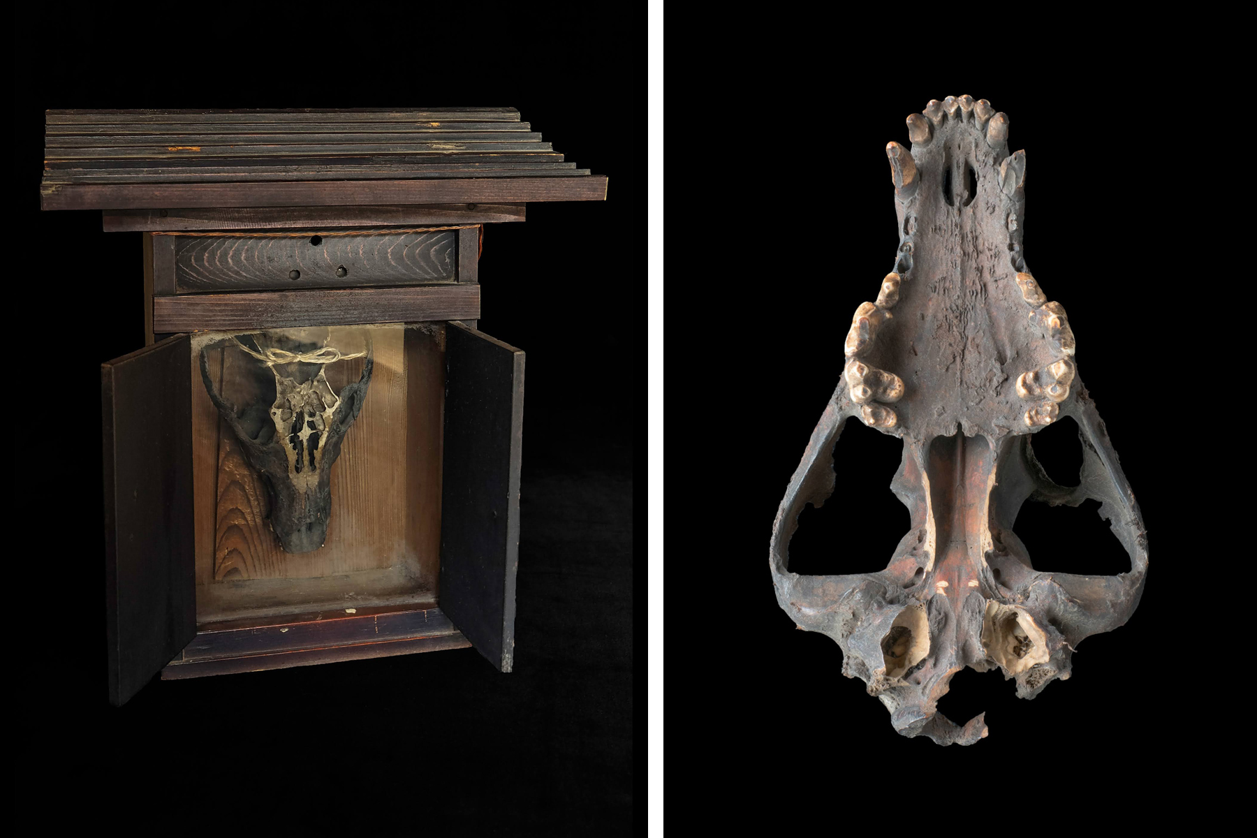 The skull of a Japanese wolf stored in a small wooden shrine and owned by Chichibu resident Kanzo Tahira. From photographer Michiko Hayashi's photobook, Hodophylax: The Guardian of the Path. ©2017 MICHIKO HAYASHI / HODOPHYLAX